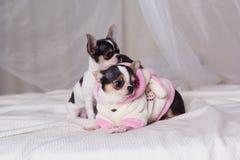 Les chiens de chiwawa se trouvent sur le lit Image libre de droits