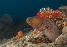 les chiens de mer Grand-dits du bout des lèvres j'ai rentré l'eau en Maldives Photographie stock