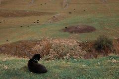 Les chiens de pure race Shepherd le mensonge sur l'herbe gardant les vaches Photo libre de droits