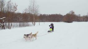 Les chiens de traîneau fonctionnent pendant l'hiver dans le harnais par la neige et conduisent une femme dans un traîneau derrièr banque de vidéos