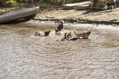 Les chiens de traîneau jouant dans l'eau Photo libre de droits