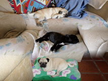 Les chiens dorment dans le salon Photos libres de droits