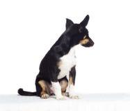 Les chiens drôles de chiot regarde de côté Image libre de droits