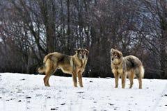 Les chiens givrés de parc à moutons dans la neige Photographie stock libre de droits