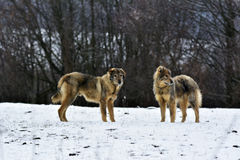 Les chiens givrés de parc à moutons dans la neige Photo stock