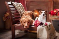 Les chiens Jack Russell Terrier et le portrait de Nova Scotia Duck Tolling Retriever de chien poursuivent le mensonge sur une cha Photo stock