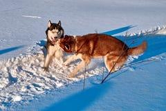 Les chiens jouent dans la neige Combat et morsure de chiens de chien de traîneau sibérien en congère Le soleil léger chaud d'hive Images stock