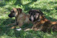 Les chiens noirs et bruns se reposent dans l'herbe Photographie stock libre de droits