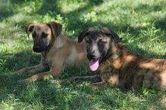 Les chiens noirs et bruns se reposent dans l'herbe Photos stock