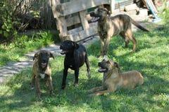 Les chiens noirs et bruns se reposent dans l'herbe Images libres de droits