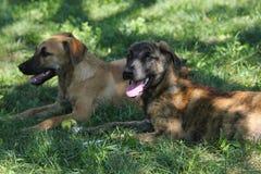 Les chiens noirs et bruns se reposent dans l'herbe Images stock