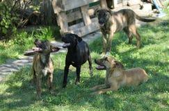 Les chiens noirs et bruns se reposent dans l'herbe Photographie stock