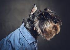 Les chiens se sont habillés dans une chemise bleue et des lunettes de soleil Photo stock