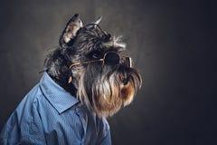 Les chiens se sont habillés dans une chemise bleue et des lunettes de soleil Photos stock