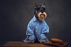 Les chiens se sont habillés dans une chemise bleue et des lunettes de soleil Photographie stock