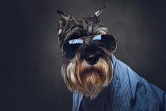 Les chiens se sont habillés dans une chemise bleue et des lunettes de soleil Photos libres de droits