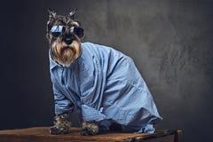 Les chiens se sont habillés dans une chemise bleue et des lunettes de soleil Images libres de droits