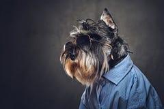 Les chiens se sont habillés dans une chemise bleue et des lunettes de soleil Image stock