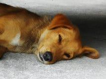 Les chiens se trouvant sur le plancher de ciment sont somnolents Photo libre de droits