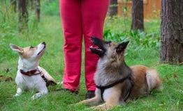 Les chiens se trouvent aux pieds du maître et d'attendre une commande Images stock