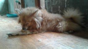 Les chiens sont endormis Photo stock