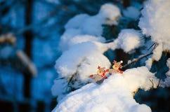 Les chiffres drôles des cerfs communs sur le pin neigeux s'embranche Image libre de droits