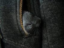 Les chinchillas nouveau-nés gris d'Ittle regardent hors de la poche de manteau photos libres de droits