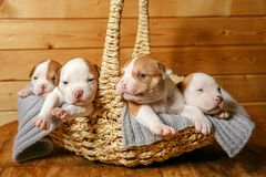 Les chiots américains de bouledogue dorment gentiment dans un panier photo stock