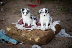 Les chiots de border collie apprennent Image libre de droits