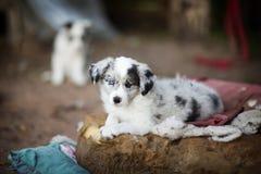 Les chiots de border collie apprennent Photographie stock