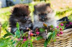 Les chiots de chiens de Pomeranian se reposent dans le panier Image stock