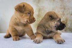 Les chiots jumeaux Photographie stock libre de droits