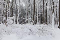 Les chutes de neige dans la forêt, scène froide de temps d'hiver, neige ont couvert le paysage d'arbres image libre de droits