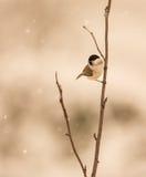 Mésange de marais sous la neige Images libres de droits