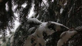 Les chutes de neige sur le sapin banque de vidéos
