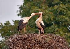 Les cigognes blanches se toilettent sur le nid après multiplication de la saison image stock