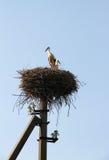 Les cigognes couplent dans un symbole de famille et de fidélité de nid Photographie stock