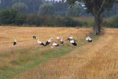 Les cigognes groupent en champs néerlandais de Brummen Image libre de droits