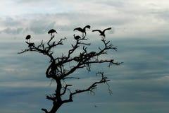 Les cigognes silhouettent dans l'arbre mort Photo stock