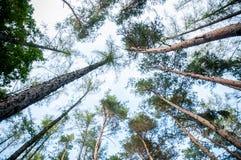 Les cimes d'arbre regardent avec la perspective Photographie stock libre de droits