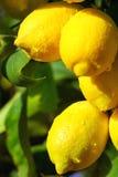 les citrons mûrissent le jaune Photos libres de droits