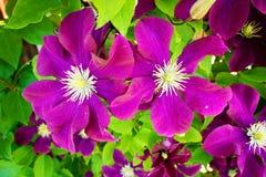Les clématites pourpres fleurissent avec des stamens de maladie de Raynaud fleurissant au soleil Fond floral de nature photographie stock libre de droits
