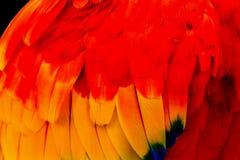 Les clavettes de Macaw d'écarlate se ferment vers le haut images stock