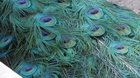 Les clavettes de paon photographie stock