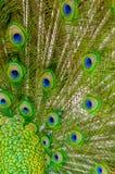 Les clavettes de paon Image stock