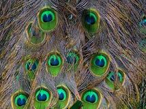 Les clavettes de paon photo libre de droits