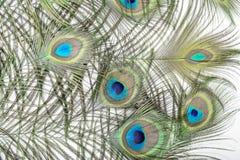 Les clavettes de paon Image libre de droits