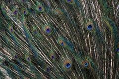 Les clavettes de paon Images libres de droits