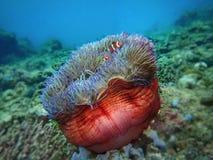 Les clownfish d'ocellaris, également connus sous le nom de clownfish faux de percula ou clownfish communs en Tunku Abdul Rahman P photographie stock