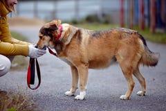 Les coûts non de race de chien de rouge Photographie stock